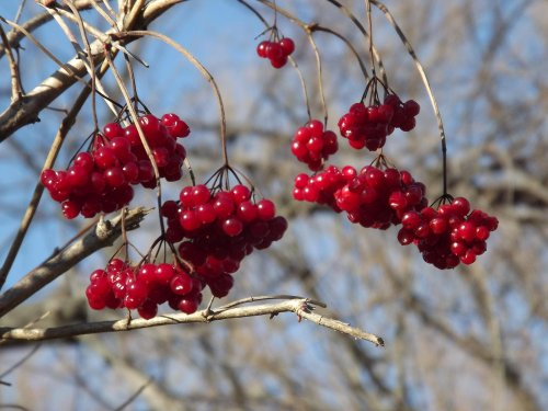 Highbush Cranberry - the more bitter European form
