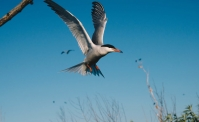 2020 Common Tern Research Update